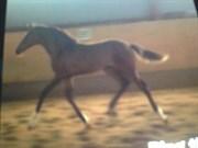 Hest til salg - Josy