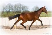 Hest til salg - LANGAGERGÅRDS COOL DREAM