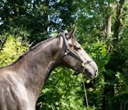 Hest til salg - Bolero lad