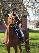 Hest til salg - HØNNERUPS GALATHEA