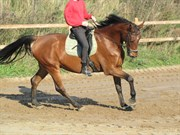 Hest til salg - Inventus