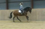 Hest til salg - Enoch