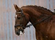 Hest til salg - DAMGAARDS CHAMEUR