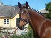 Hest til salg - LANGAGERS GRIBANA