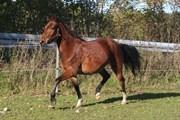 Hest til salg - TAI TASTY