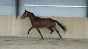 Hest til salg - Solbakken's santini