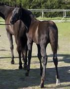 Hest til salg - NOIR ROYAL