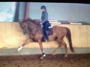 Hest til salg - HEILINE'S DONAUREBELLE