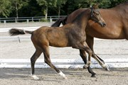 Hest til salg - TECHENS COR CAROLI