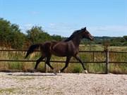 Hest til salg - ELVERSØES GALANTIC