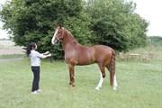 Hest til salg - ALBERT