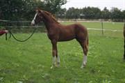Hest til salg - DUZELLO