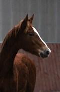 Hest til salg - GØRKLINTGÅRDS WILMA