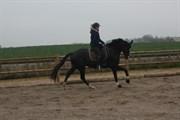 Hest til salg - SCILLA V