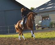 Hest til salg - MO CUISHLE