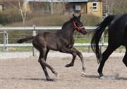 Hest til salg - DONNA-OLYMBIA DREAM