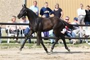 Hest til salg - Vinci Sir Darco