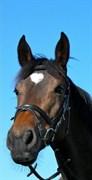 Hest til salg - MAKE MY DAY R