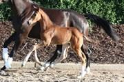 Hest til salg - FAUERBIRK'S ZORENTO