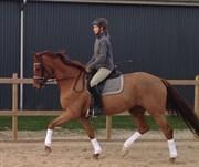 Hest til salg - BAKKELY'S DILINO