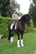 Hest til salg - HANNES