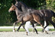 Hest til salg - 413 - GRØNNESSEGAARDS FATTIVO