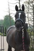 Hest til salg - ØSTERVANGS BELLAMI