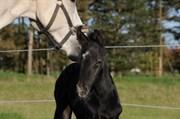 Hest til salg - LILLESØ'S SEZOO