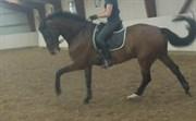 Hest til salg - PINOT NOIR