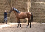 Hest til salg - CANDY CRUSH VG