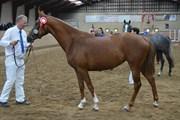 Hest til salg - NØRLUNDS EBLOUIR