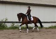 Hest til salg - CREOLE