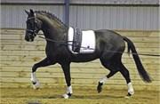 Hest til salg - 28 - UNO DON OLYMPIC