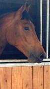 Hest til salg - LAROCQUE DE REVEL