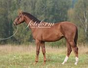 Hest til salg - Compricer