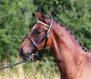 Hest til salg - SOREVAS ASTI