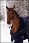 Hest til salg - PETRA
