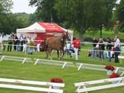 Hest til salg - RAMA