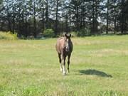 Hest til salg - ROSAMUNDE