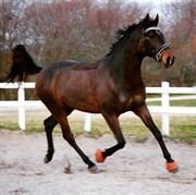 Hest til salg - FRYDENBORGS LAURA