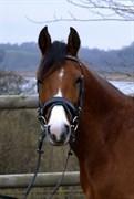 Hest til salg - AFRODITE RYGAARD