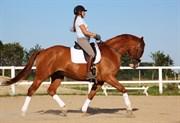 Hest til salg - ERNST AUGUST