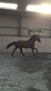Hest til salg - FORESTDALE