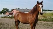 Hest til salg - EGELUND'S DONNERZAN
