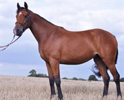 Hest til salg - BOUNTY PEARL