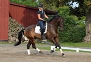 Hest til salg - SALOMON LUNDSGÅRD