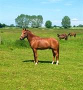 Hest til salg - KELABO VAN ORCHID'S