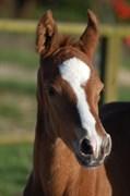 Hest til salg - DROSTGAARD'S DON ASTON