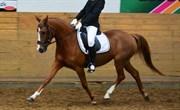 Hest til salg - GOLDEN MIEA