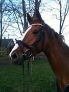 Hest til salg - KOKHOLM'S DONNA WELTIC